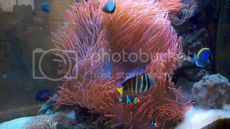 photobucket 3550 1319238431446 - Rose bubble tip anenome